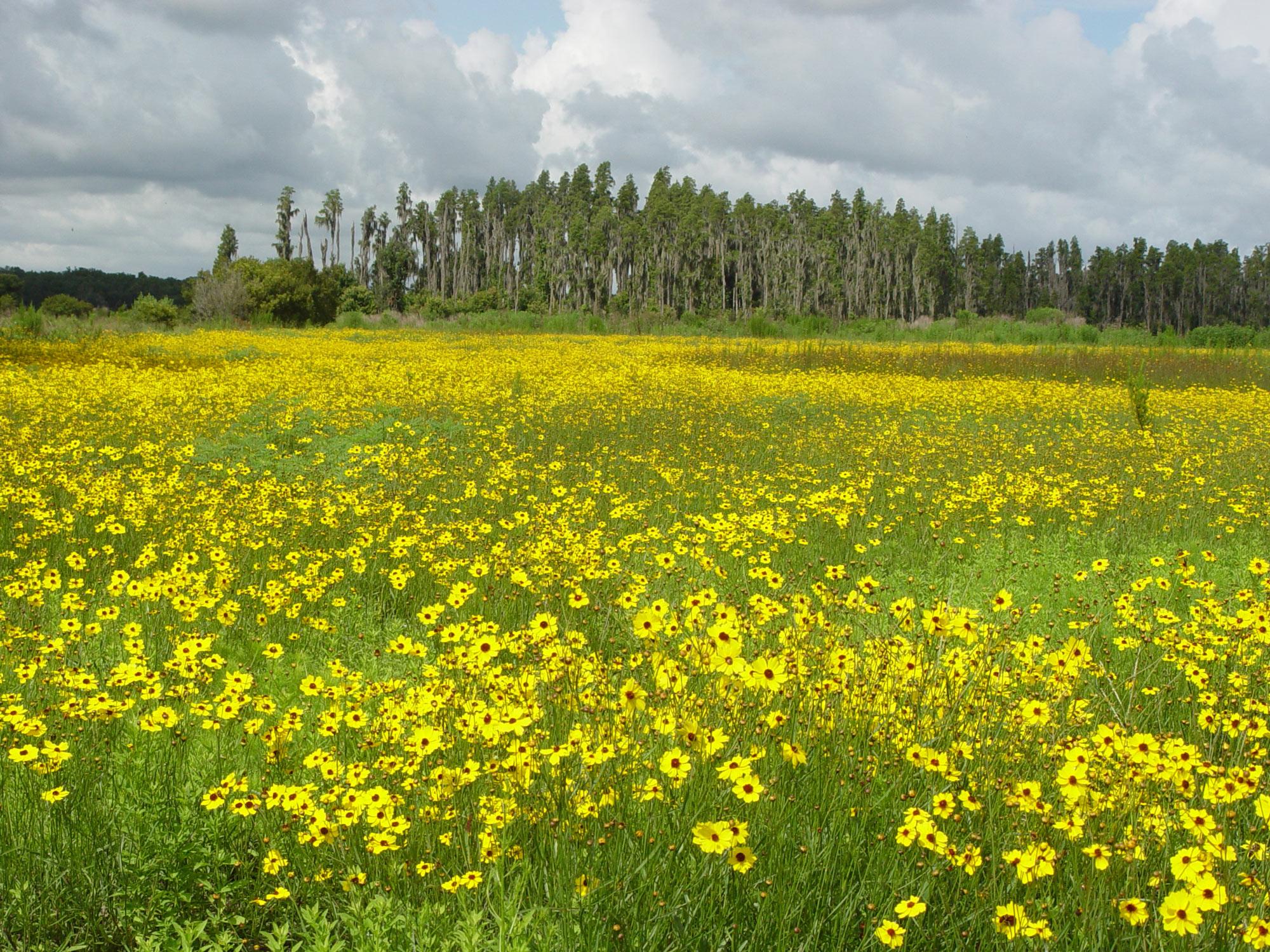 Coreopsis field