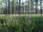 Longleaf pine woodland