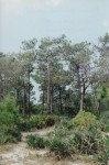 Scrubby pine flatwoods in South Brevard County, Florida. Photo by Kevin Dodge.