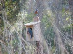 Blue birds at nest box