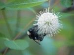 Bumblebee nectars on the flower of Buttonbush (Cephalanthus occidentalis), a medium to large-sized shrub that attracts butterflies and is a good choice for lake or pondside margins throughout much of Florida. Photo by Sharon LaPlante.