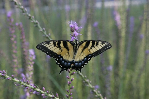 Why we plant native: butterfly nectaring on Blazing Star.