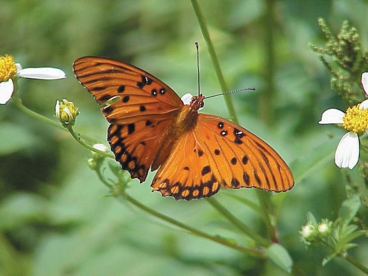 Adult Gulf Fritillary butterfly nectars on the common-but-important Spanish Needles (Bidens alba). Photo by Sharon LaPlante.