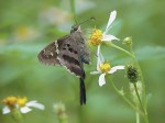 Long-tailed Skipper on Spanish Needles (Bidens alba)